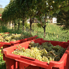 Vigneto Polisena_2 - Azienda Agricola Tosca