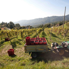 Vigneto Polisena_4 - Azienda Agricola Tosca